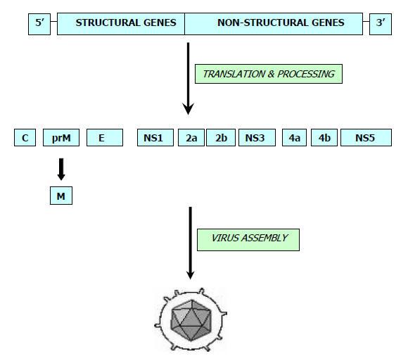 Genome ofJapanese Encephalitis (JE) Virus