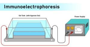 Immunoelectrophoresis- Principle, Procedure, Results and Applications