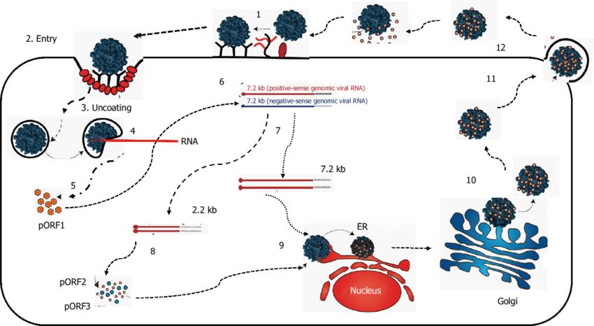 Replication ofHepatitis E Virus