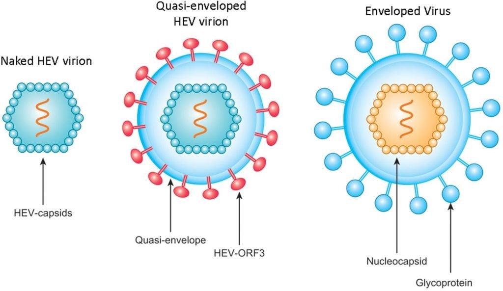Structure ofHepatitis E Virus