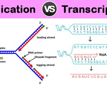 Differences between DNA Replication and Transcription