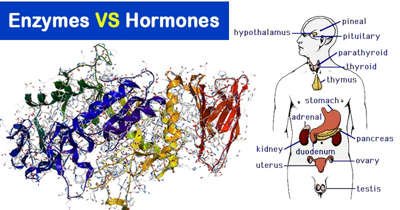 Differences Between Enzymes And Hormones Microbiology Notes