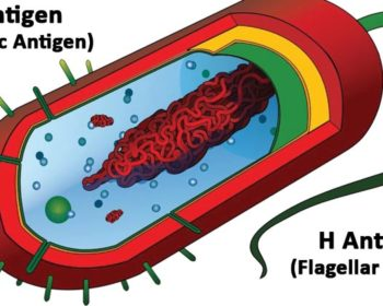 Differences between O Antigen and H Antigen