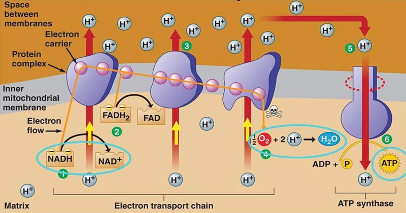 Electron Transport Chain Etc Components And Steps