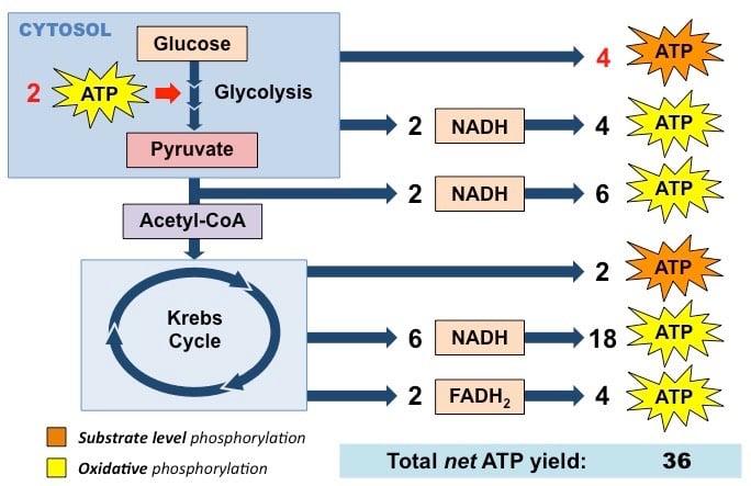 Glucose ATP generation