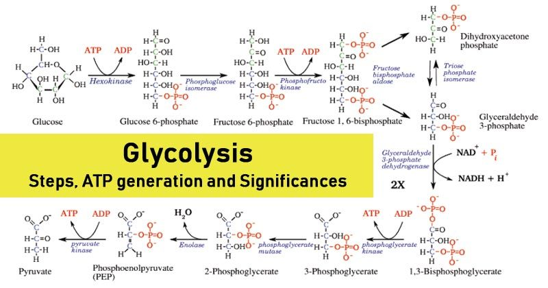 Glycolysis- Steps, ATP generation and Significance