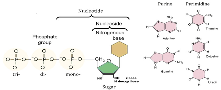 Nucleic Acids- Nucleosides and Nucleotides