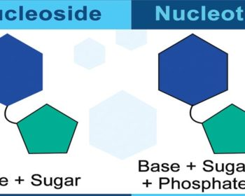 Nucleosides and Nucleotides