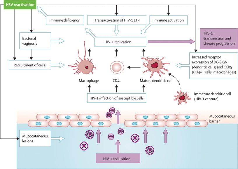 Pathogenesis of Herpes simplex virus 1 (HSV-1)