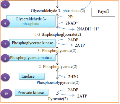 Pay-off phase of glycolysis