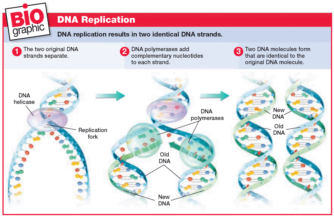 Prokaryotic DNA Replication