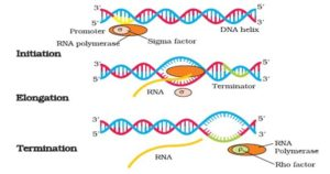 Prokaryotic Transcription- Enzymes, Steps, Significance
