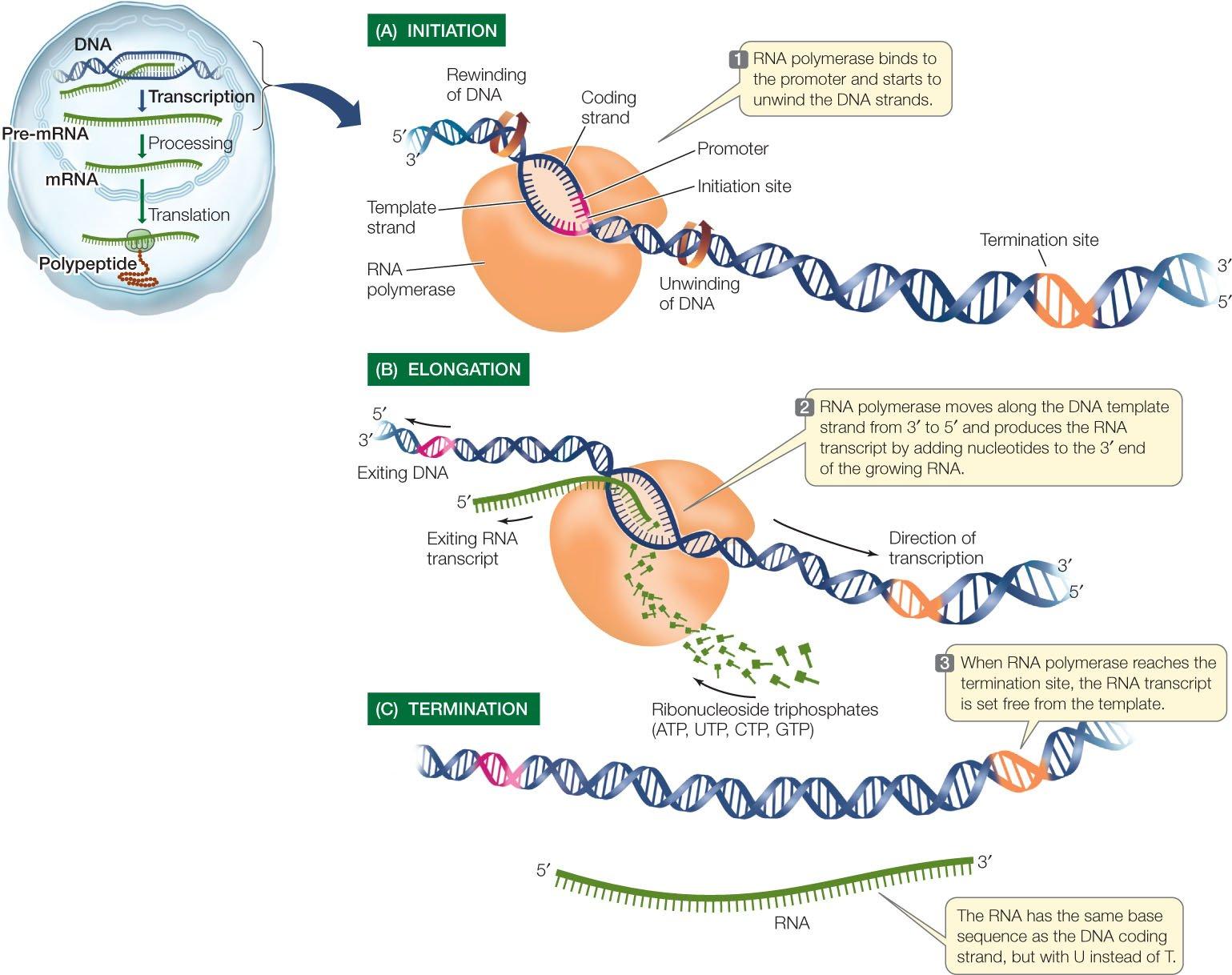 Prokaryotic Transcription Steps