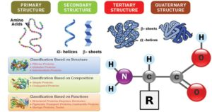 Proteins- Properties, Structure, Classification and Functions