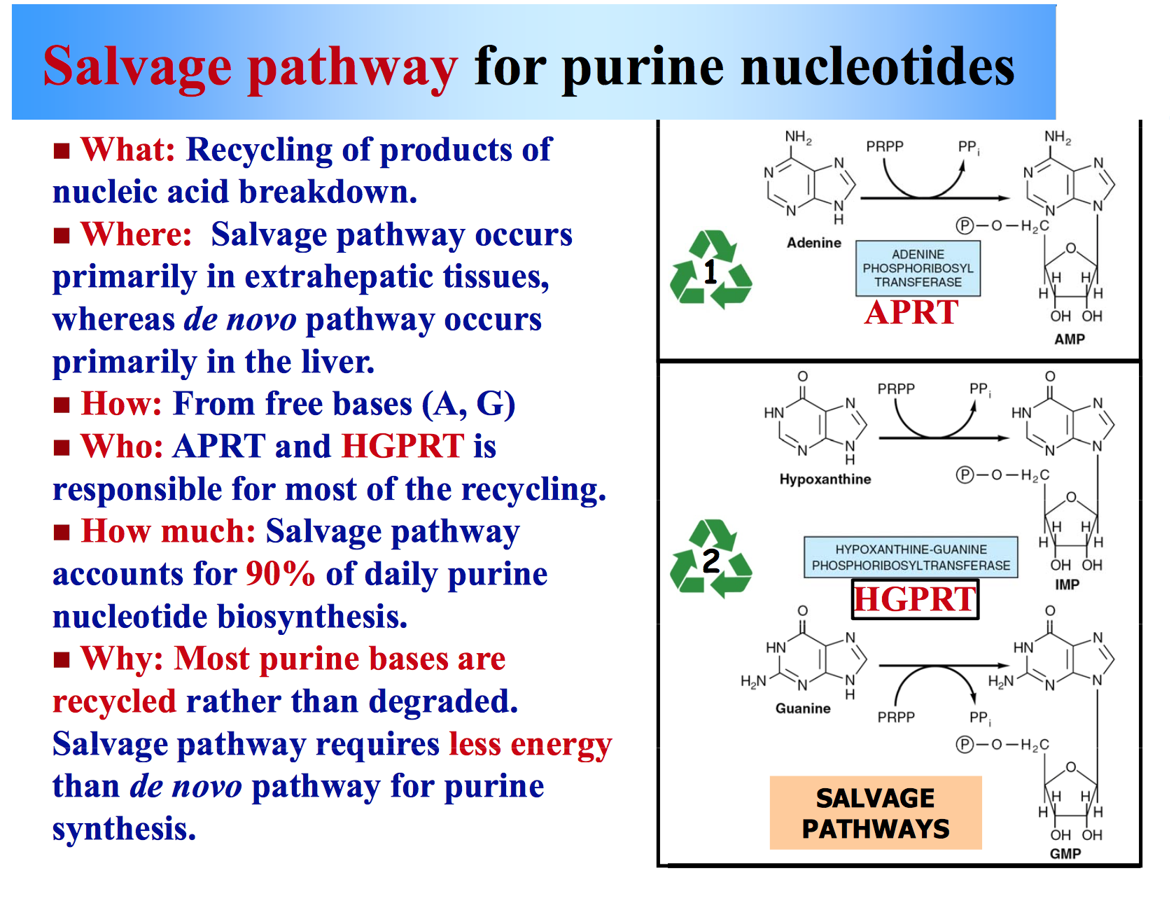 purine synthesis microbiology notes