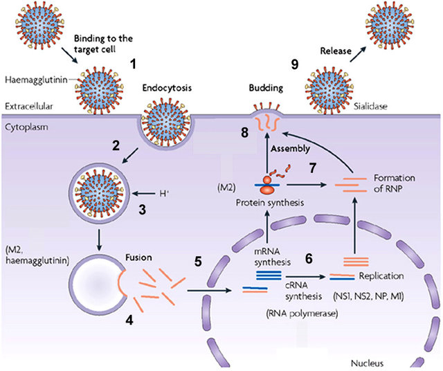 Replication in nucleus of Influenza A Virus
