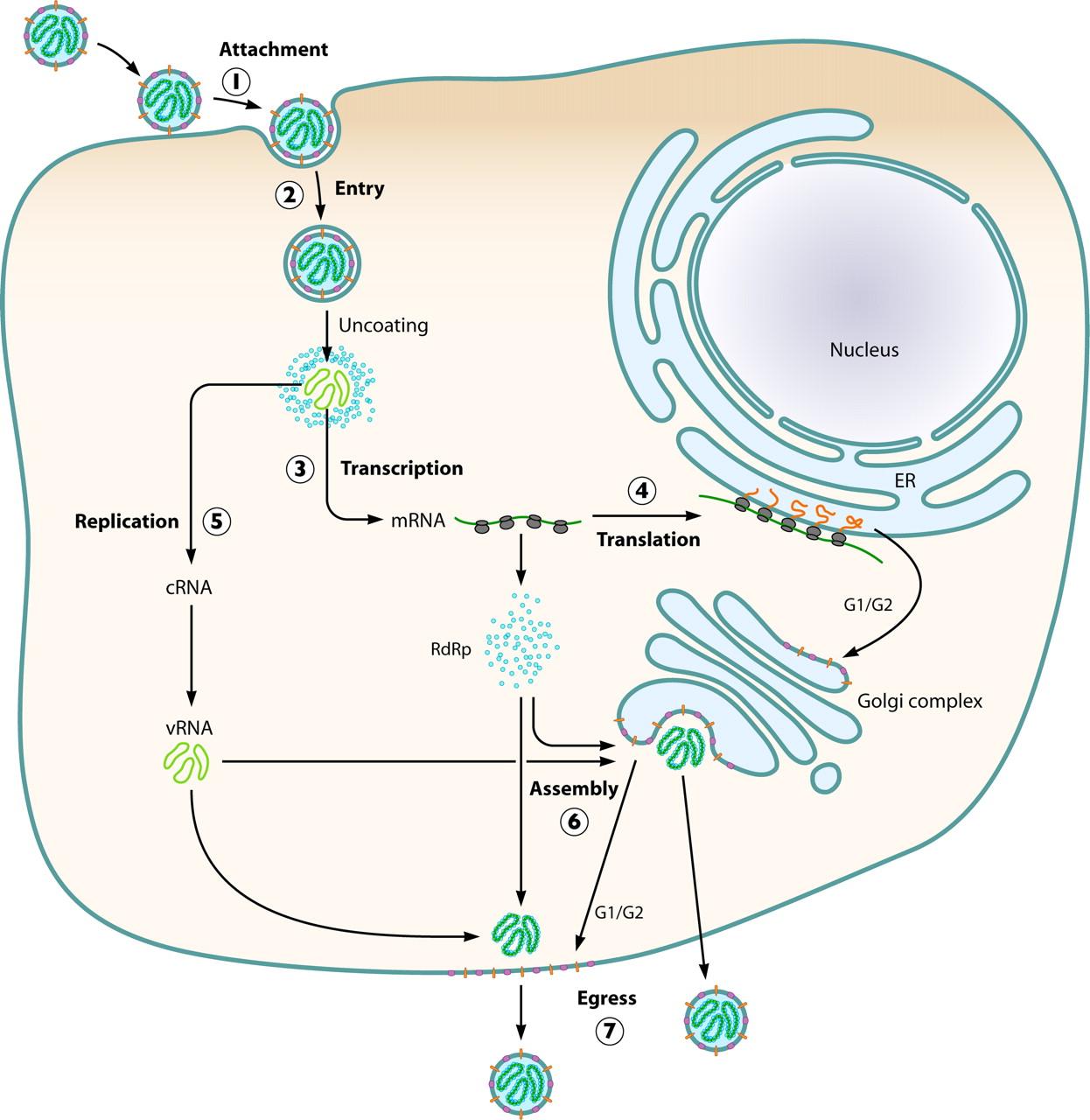 Replication ofHanta Virus