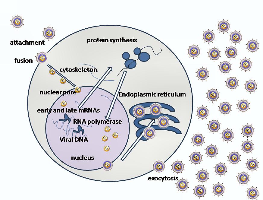 Replication of Herpes simplex virus 1 (HSV-1)