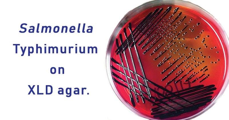 Salmonella Typhimurium on XLD agar.