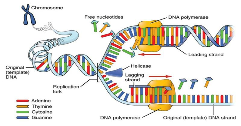 Steps of DNA Replication