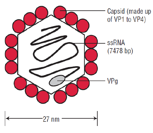 Structure of Polio Virus