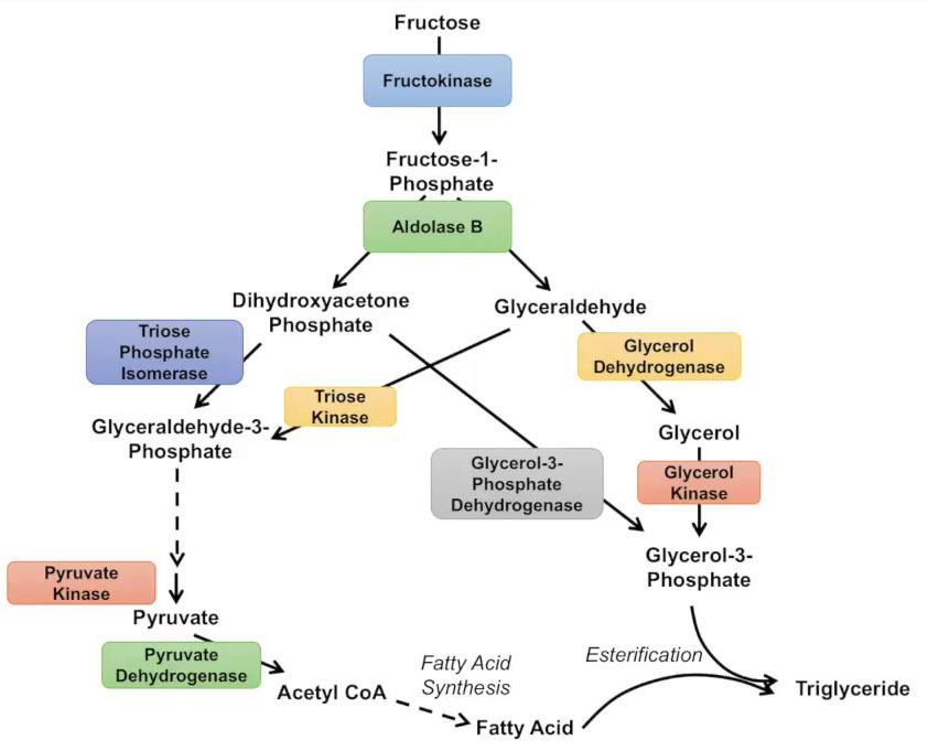 The Pathway of Fructose Metabolism