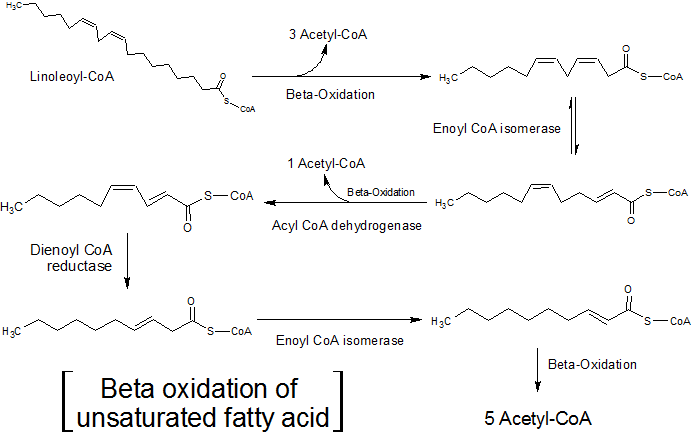 Unsaturated_fatty_acid-_Beta_oxidation