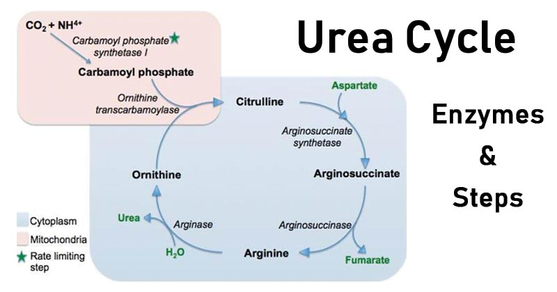 Urea Cycle- Enzymes and Steps