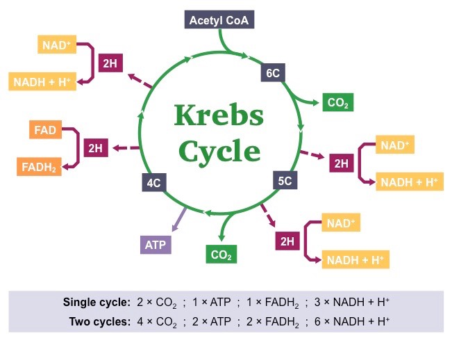 Yield of the Citric acid Cycle