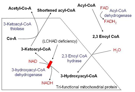 mitochondrial fatty acid beta-oxidation
