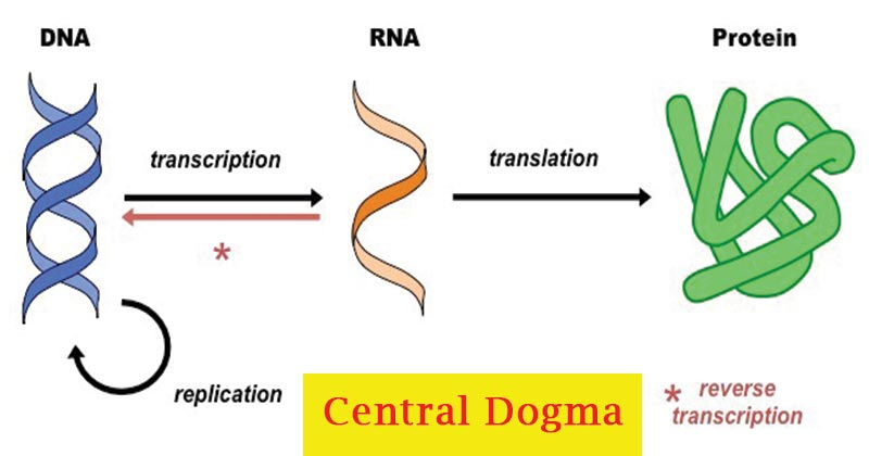 Central Dogma- Replication, Transcription, Translation