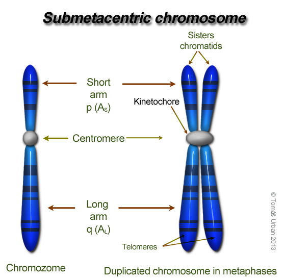 Chromosomes Structure