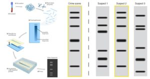 DNA Fingerprinting- Principle, Methods, Applications