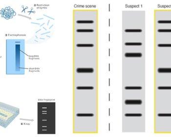 DNA Fingerprinting- Principle, Methods, Applications