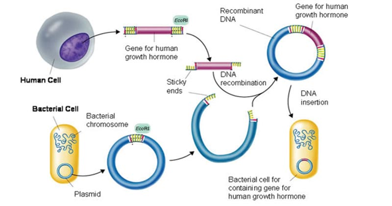 Gene Cloning- Requirements, Principle, Steps, Applications