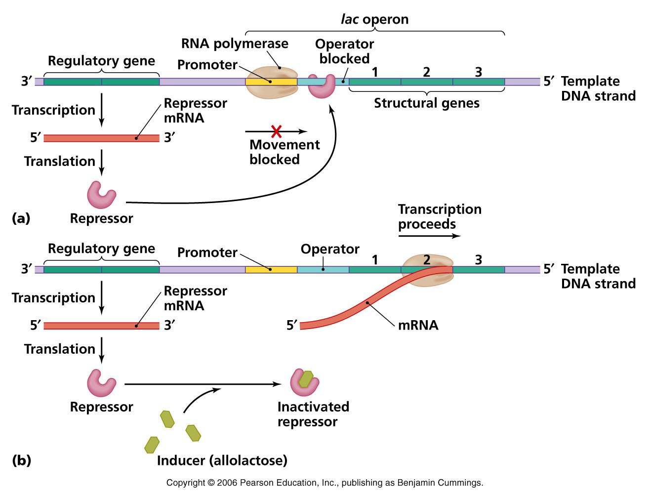 Inducers and the Induction of Lac Operon
