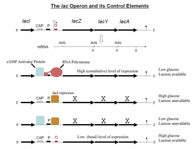 Lac Operon in the presence and absence of Glucose