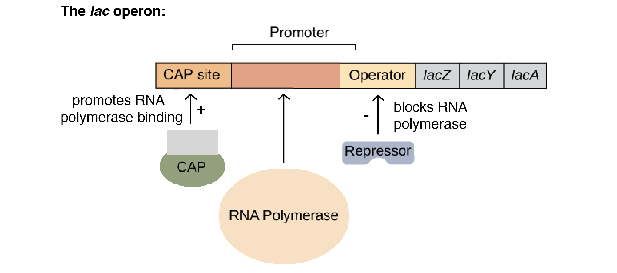 Structure of Lac Operon