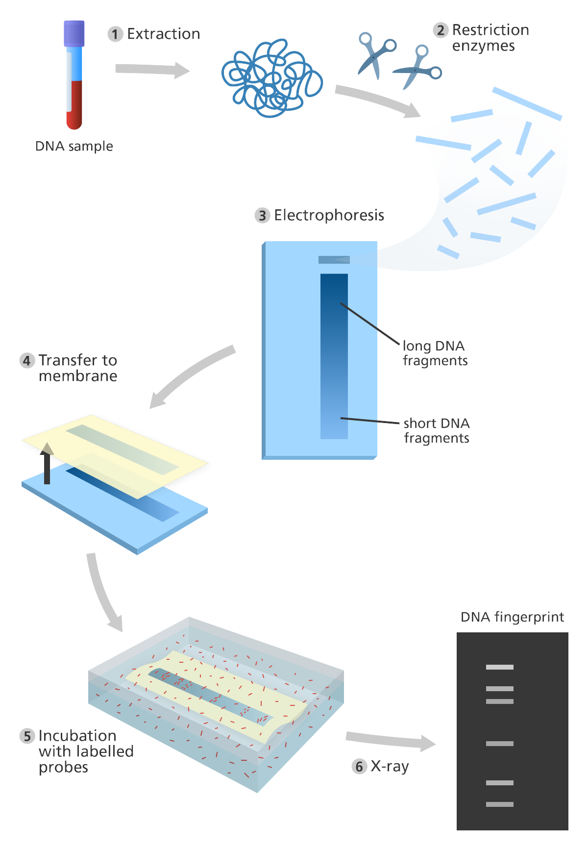 Principle of DNA Fingerprinting