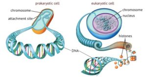 Prokaryotic and Eukaryotic Chromosomes