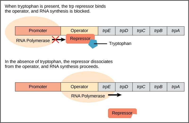 Regulation of Trp Operon