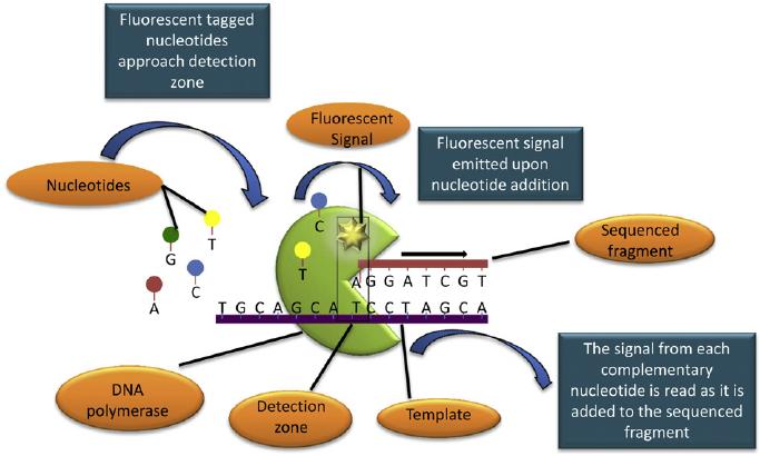 Single molecule SMRT sequencing