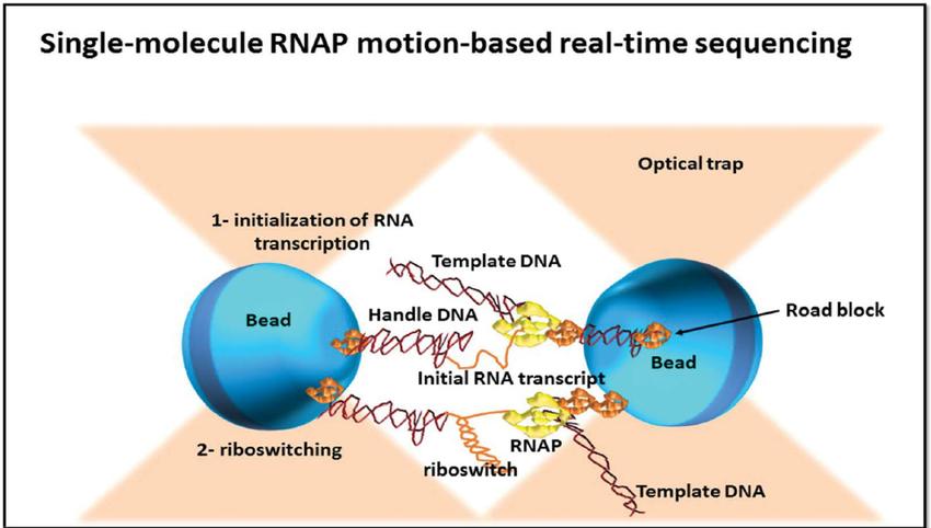 Single molecule real time (RNAP) sequencing