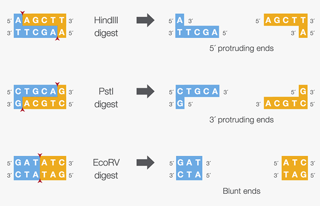 Some examples of Restriction Enzymes