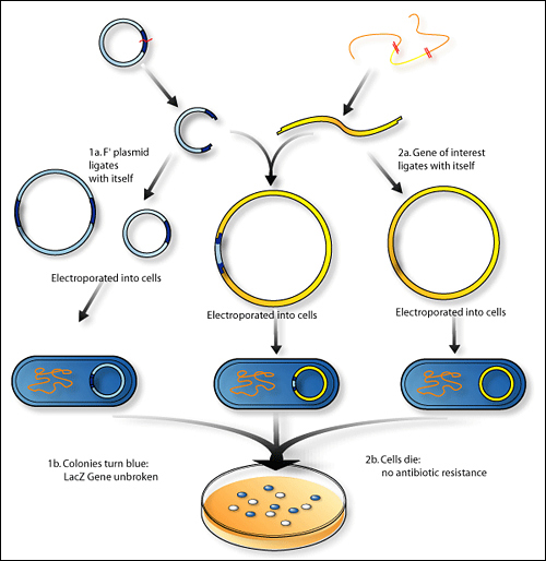 Steps of Genetic Recombination Technology