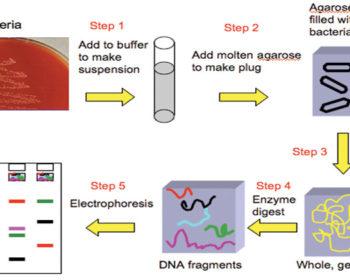 The Method ofPulsed Field Gel Electrophoresis (PFGE)