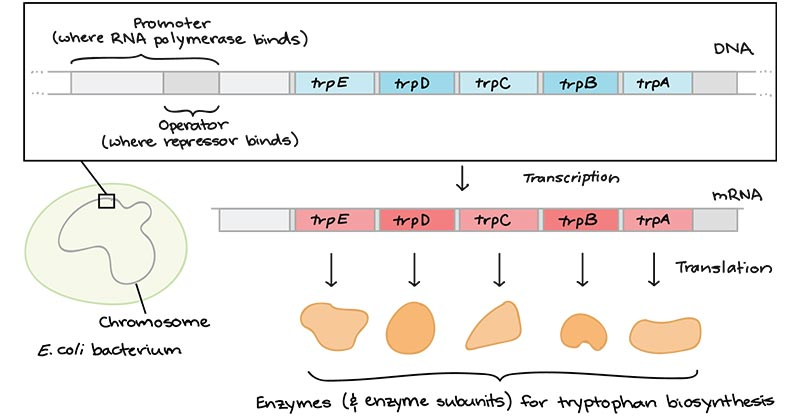 Trp Operon Structure