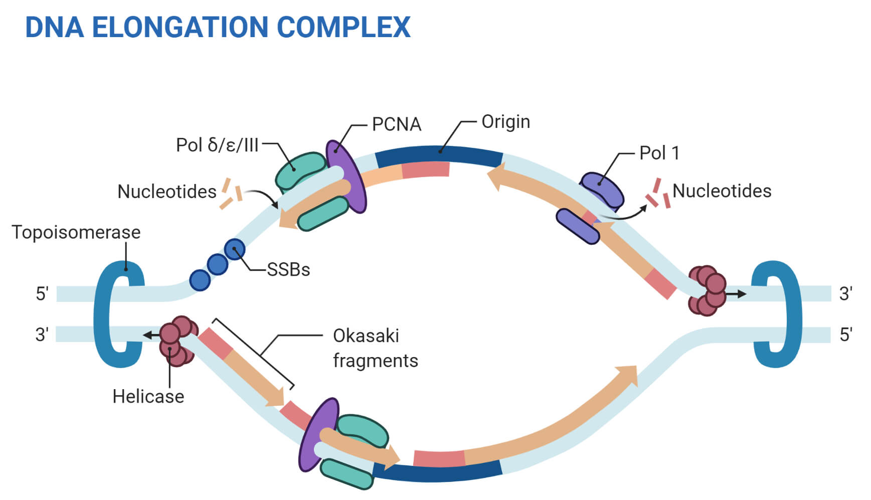 DNA Replisome (Eukaryotic Replication)