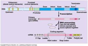 EukaryoticTranscription
