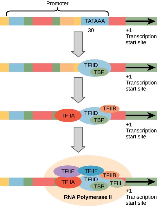 Initiation Phase of Eukaryotic Transcription